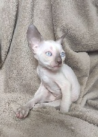 Roméo - Cornish Rex