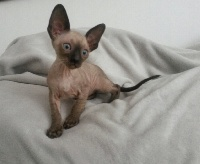 ONLY ONE seal point  - Cornish Rex