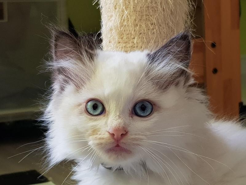 CAT'CHARMER PEARL