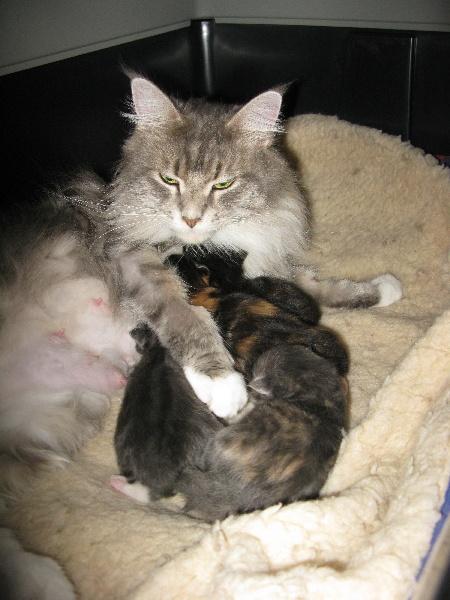 de la gabelliere - Maine Coon - Portée née le 10/11/2012