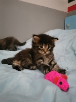 de la gabelliere - Chaton disponible  - Maine Coon
