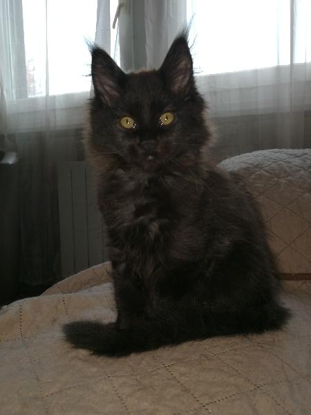 chaton Maine Coon de la gabelliere