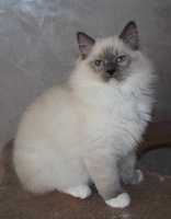 Frauenberg - Chaton disponible  - Ragdoll