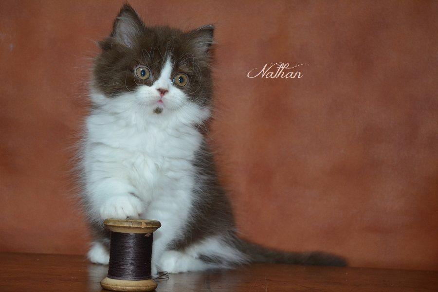 du Clos des Capucines - Un très joli chaton British longhair chocolat et blanc LOOF