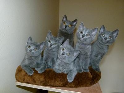 des bleus de Jade - visitez notre page facebook dédiée a la chatterie