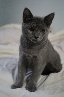 de l'ombre d'or - Chaton disponible  - Chartreux