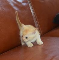cat'y mini jungle's - Chaton disponible  - Burmese anglais (Burmilla...)