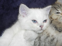 Pégase  du cèdre enchanté - British Shorthair et Longhair