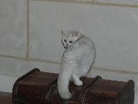 Oréade du cèdre enchanté - British Shorthair et Longhair