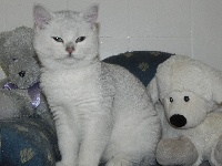 du cedre enchante - Chaton disponible  - British Shorthair et Longhair