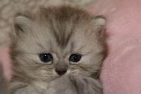 Rêverie du cèdre enchanté - British Shorthair et Longhair