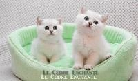 Sugar du Cèdre enchanté - British Shorthair et Longhair