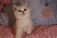 Rose blanche du cèdre Enchanté - British Shorthair et Longhair