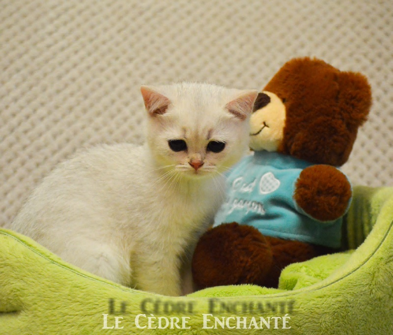 SWAN WHITE du Cèdre Enchanté -