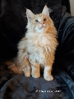 Wild Moon's - Chaton disponible  - Maine Coon