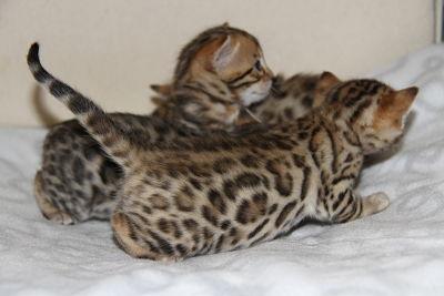 Bengals d 39 angonnes levage de chats bengal - Chaton bengal gratuit ...