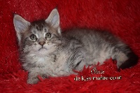 Oasis PP - Maine Coon