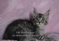 OH BELLISSIMO - Maine Coon