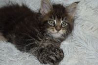 Patty  PP 7666 - Maine Coon