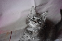 Pearly collier noir - Maine Coon