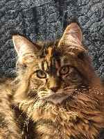 Rodoudou PP6666 rose - Maine Coon