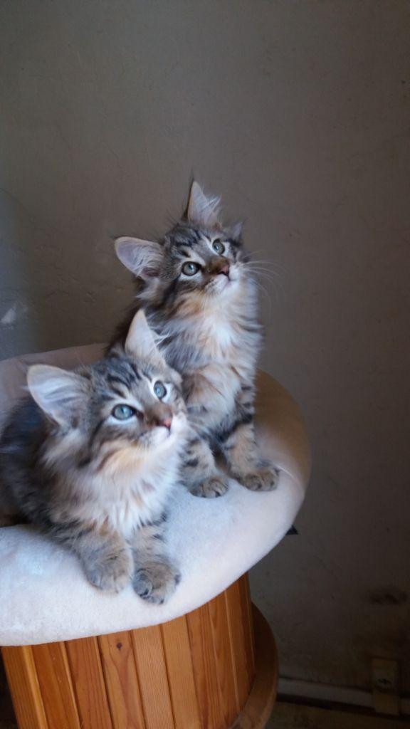 Veloursdesglace - 2 chatons Norvégiens disponibles