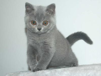SAMY - British Shorthair et Longhair