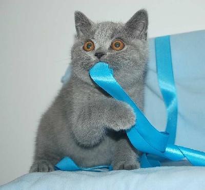 SCOTTY - British Shorthair et Longhair
