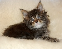 Polisson - Maine Coon