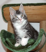 PACO - Maine Coon