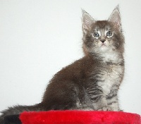 RODOLPHE - Maine Coon