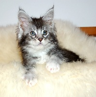 PAOMA - Maine Coon