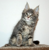 Of Dark Shadows - Chaton disponible  - Maine Coon
