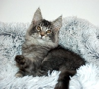 OCTAVE - Maine Coon