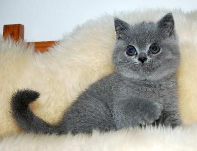 SNOOPY - British Shorthair et Longhair