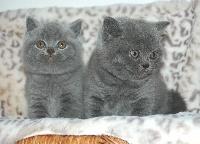 Reve bleu - British Shorthair et Longhair