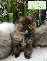 Of Lady De Milfort - Chaton disponible  - British Shorthair et Longhair