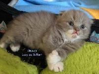 Of Lady De Milfort - Chaton disponible  - Highland Fold