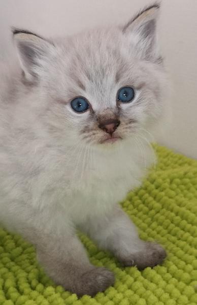 chaton Sibérien clos d'ichy