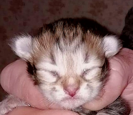 MALE BROWN BLOTCHED TABBY (Golden)