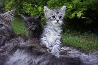 CHATON BLACK SILVER - Maine Coon