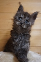 CHATON BLACK SMOKE COLLIER ROSE  - Maine Coon