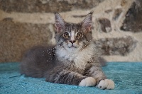 Des Chats de Kerma - Chaton disponible  - Maine Coon