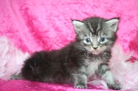 Femelle Black silver - Maine Coon
