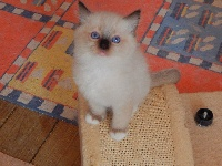 Des Chalomcats - Chaton disponible  - Ragdoll