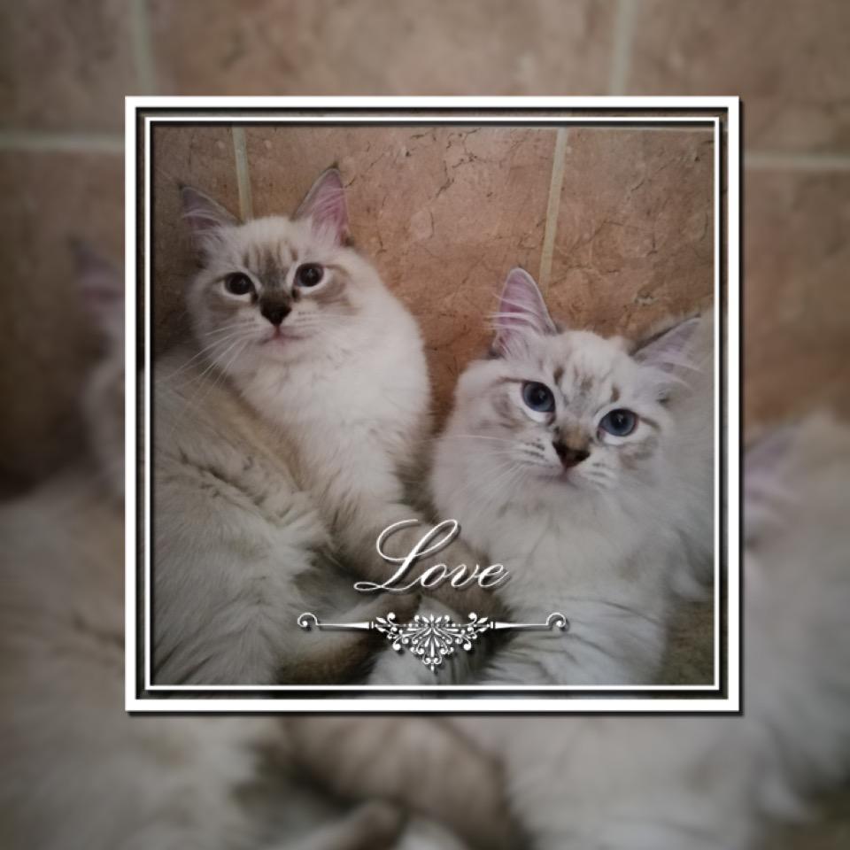chaton Sibérien Beauté De Sibérie
