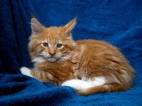 Love Buzz - Chaton disponible  - Maine Coon