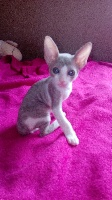 du Petit Bouddha - Chaton disponible  - Cornish Rex