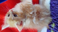 Du Mauriana - Chaton disponible  - Maine Coon