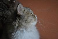 RAZZIA - Selkirk Rex poil court et poil long